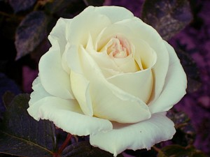 white rose and purple back